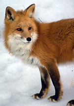 Sierra Nevada Red Fox