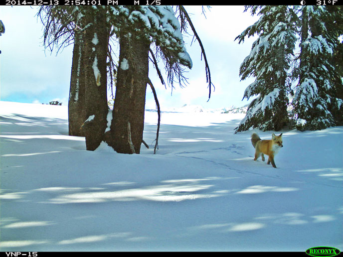 Sierra Nevada Red Fox spotted after nearly 100 year hiatus